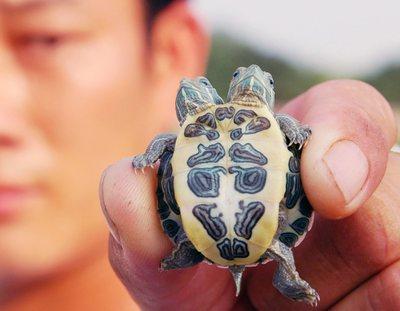 Cina e 39 nata la tartaruga con due teste le foto for Tartarughe razze
