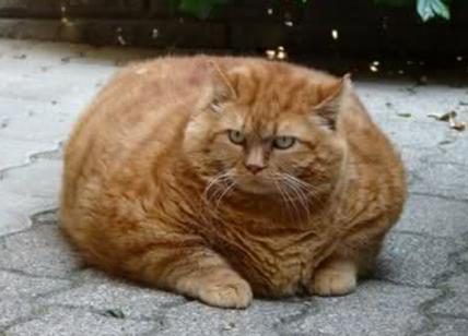 Cani Obesi E Gatti Obesi Tale Cane Tale Padrone Affaritalianiit