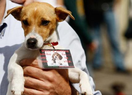 Beagle maltrattati, la Cassazione conferma la condanna dei vertici di Green Hill