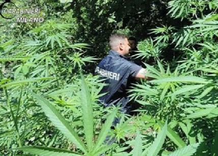 Piantagione di marijuana scoperta nel Bosco delle Querce #foto
