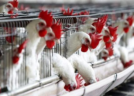 Aviaria, Hong Kong sospende le importazioni di pollame e uova da Milano