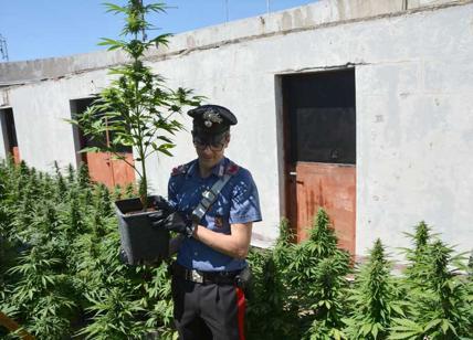 Roma, la droga cresce nel superattico: sul terrazzo 186 piante di ...