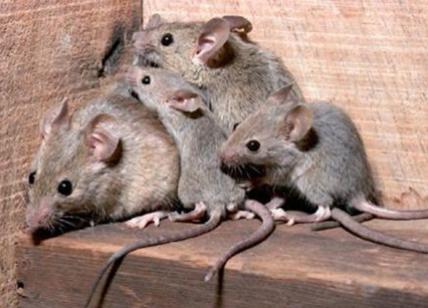 Epatite E dei topi  scoperto primo caso di malattia topi su uomo. Allarme bb303a7e4c