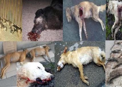 Carcasse ovunque: 15 cani avvelenati lungo la strada