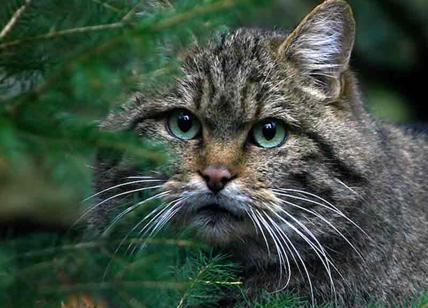 Parco Di Veio Studiosi Cercano Lupi E Trovano Un Raro Gatto