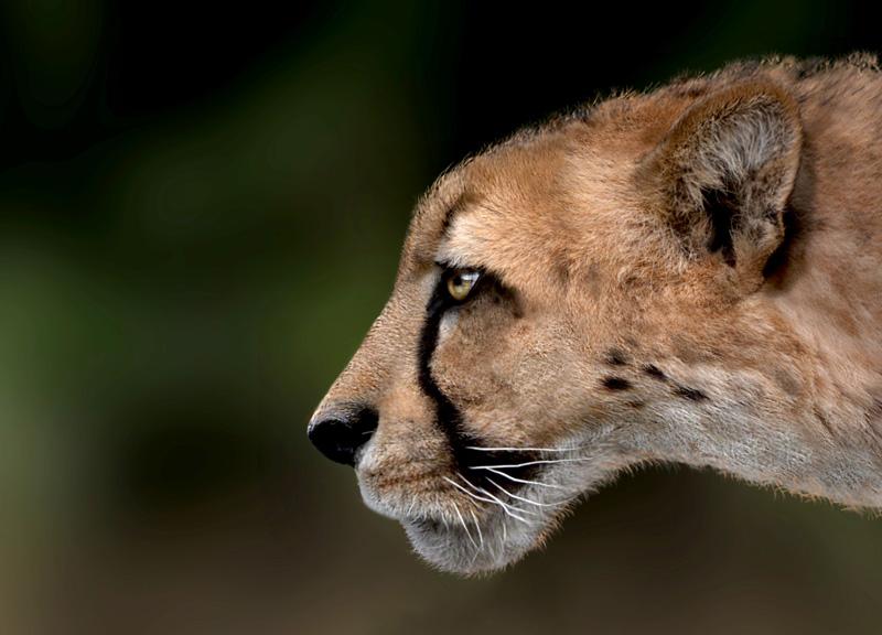 pene di ghepardo)