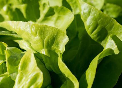 Lattuga killer: mangia un'insalata e muore, paura negli Stati Uniti