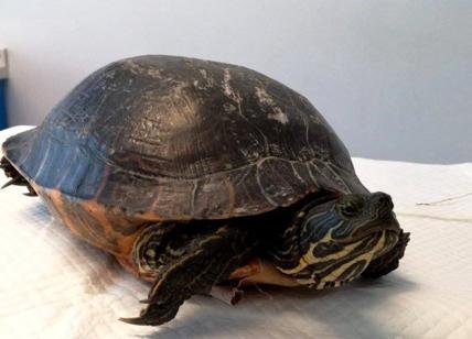 Forti dolori addominali, i medici le trovano una tartaruga nella vagina