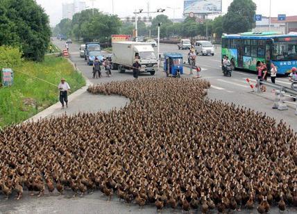 Cina, un esercito di anatre per fermare le locuste