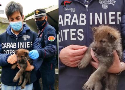 """Cuccioli di lupo venduti come cani. """"Sono cattivi, padroni in pericolo"""""""