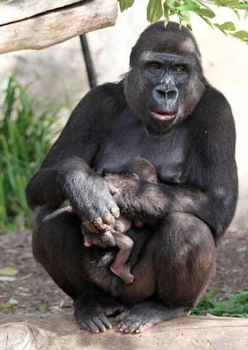 pene di gorilla)